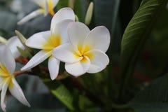 Группа в составе желтый белый и розовый Frangipani цветков Стоковые Изображения