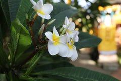 Группа в составе желтый белый и розовый Frangipani цветков Стоковые Фотографии RF