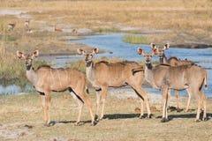 Группа в составе женщины kudu с oxpeckers Стоковое Изображение