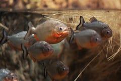 Группа в составе живые piranhas в воде Стоковое Изображение RF