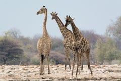 Группа в составе 3 жирафа на waterhole Стоковое Изображение