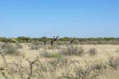 Группа в составе жирафы в лотке Etosha Стоковое Фото