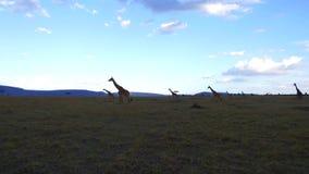 Группа в составе жирафы идя вдоль саванны на Африке акции видеоматериалы