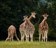 Группа в составе жирафы Стоковые Фотографии RF