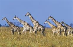 Группа в составе жирафы Maasai (Giraffa Camelopardalus) на саванне стоковое фото
