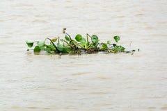 Группа в составе заводы гиацинта воды в реке Стоковые Изображения RF