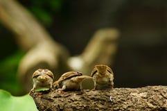 Группа в составе задней стороны montanus воробья или проезжего дерева филиппинской птицы Майя окунь евроазиатское на ветви дерева Стоковые Фото