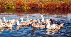 Группа в составе заплывание гусыни на озере стоковые фото