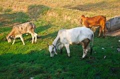 Группа в составе засевать травой коров Стоковое Изображение RF