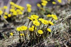 Группа в составе зацветая цветки мать-и-мачеха на темной скалистой земле Красивый желтый Tussilago Farfara или Foalfoot в апреле Стоковые Изображения