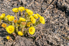 Группа в составе зацветая цветки мать-и-мачеха на темной скалистой земле Стоковые Фотографии RF