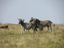 Группа в составе зебра в африканском злаковике Стоковые Фото