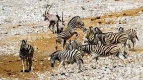 Группа в составе зебра в кусте Стоковая Фотография