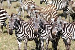 Группа в составе зебра в саванне, Masai Mara Стоковые Фотографии RF