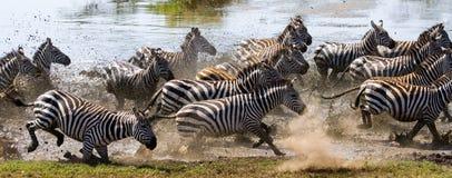 Группа в составе зебры бежать через воду Кения Танзания Национальный парк serengeti Maasai Mara Стоковое Изображение