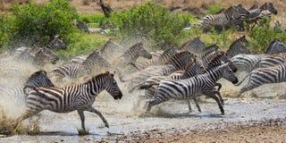 Группа в составе зебры бежать через воду Кения Танзания Национальный парк serengeti Maasai Mara Стоковое Фото