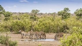 Группа в составе зебры выпивая в саванне Стоковые Изображения