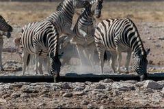 Группа в составе зебры выпивая и играя Стоковое фото RF