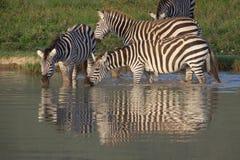 Группа в составе зебры выпивая на водопое, зоне консервации Ngorongoro, Танзании Стоковые Фото