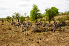 Группа в составе зебры в одичалом Стоковое Фото