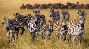 Группа в составе зебры в саванне Кения Танзания Национальный парк serengeti Maasai Mara Стоковые Изображения RF
