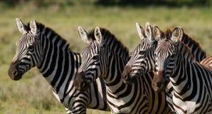 Группа в составе зебры в саванне Кения Танзания Национальный парк serengeti Maasai Mara Стоковое Изображение RF