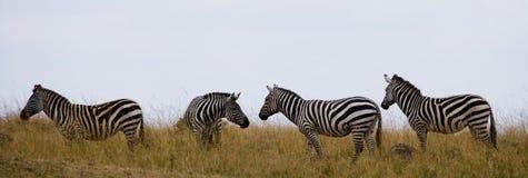 Группа в составе зебры в саванне Кения Танзания Национальный парк serengeti Maasai Mara Стоковые Фото