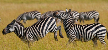 Группа в составе зебры в саванне Кения Танзания Национальный парк serengeti Maasai Mara Стоковая Фотография RF