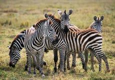 Группа в составе зебры в саванне Кения Танзания Национальный парк serengeti Maasai Mara Стоковые Изображения