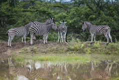 Группа в составе зебры в Южной Африке в одичалой природе Стоковые Фото