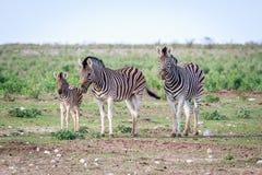 Группа в составе зебры играя главные роли на камере Стоковое Изображение RF
