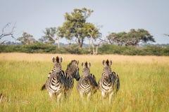 Группа в составе зебры играя главные роли на камере Стоковое фото RF