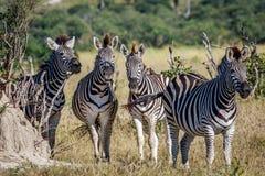Группа в составе зебры играя главные роли на камере Стоковое Фото