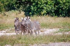 Группа в составе зебры играя главные роли на камере Стоковые Фотографии RF