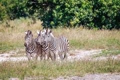 Группа в составе зебры играя главные роли на камере Стоковые Изображения