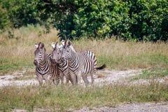 Группа в составе зебры играя главные роли на камере Стоковая Фотография