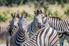 Группа в составе зебры играя главные роли на камере Стоковые Изображения RF