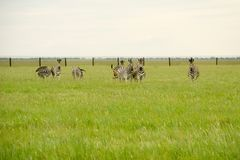 Группа в составе зебры на зеленом поле смотря камеру Стоковая Фотография