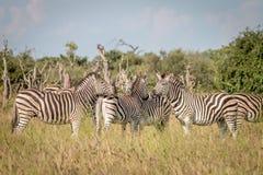 Группа в составе зебры скрепляя в траве Стоковые Фотографии RF