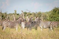 Группа в составе зебры скрепляя в траве Стоковые Изображения RF