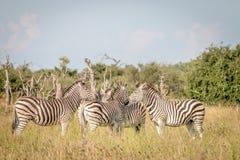 Группа в составе зебры скрепляя в траве Стоковые Фото