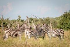 Группа в составе зебры скрепляя в траве Стоковое Изображение
