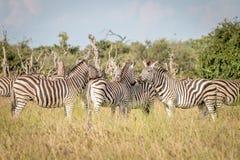 Группа в составе зебры скрепляя в траве Стоковое Фото