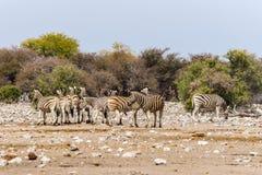 Группа в составе зебры стоя в саванне Стоковое Фото