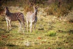 Группа в составе зебры стоя в траве Стоковое Фото