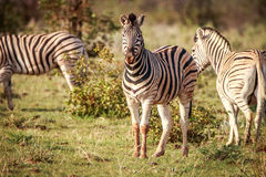 Группа в составе зебры стоя в траве Стоковое Изображение RF