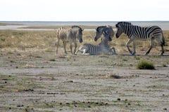 Группа в составе зебры Стоковые Изображения RF