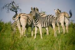 Группа в составе зебры Стоковые Фотографии RF