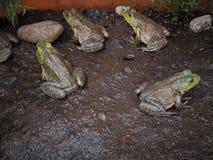 Группа в составе зеленые жабы Стоковое фото RF