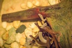 Группа в составе змейки воды (Homalopsidae) и их общее имя w Стоковое фото RF